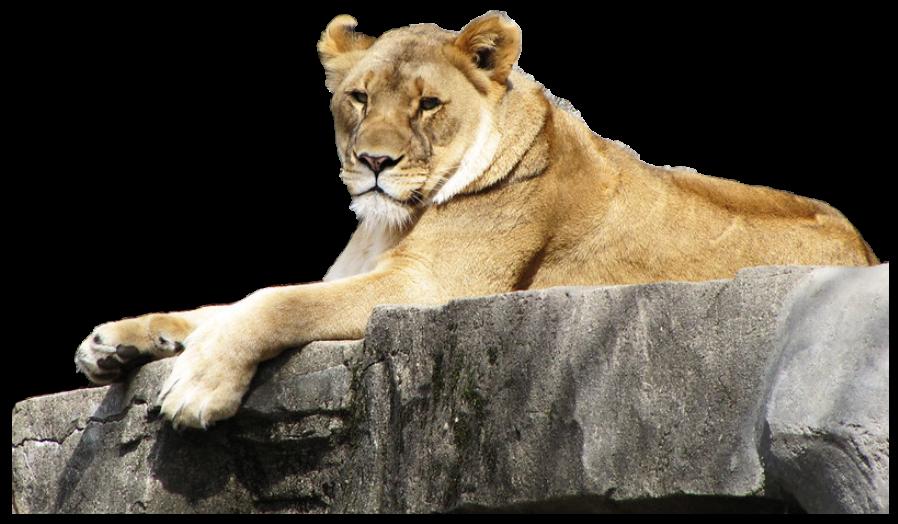 אריה על הסלע